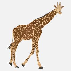image of giraffe, Somali animal, zoo designation