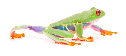 Red eyed tree frog crawling or walking over white background.
