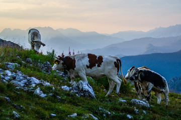 Close up view of alpine cow on Tre Cime di Lavaredo(Drei Zinnen) walking trail in Dolomites,Italy.Wildlife or animals concept.Natural mountain background, summer. Popular tourist attraction in Alps