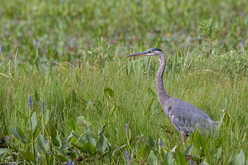 Great Blue Heron Stands in a Marsh