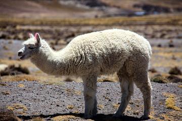 Alpacas in Peru. A pet that produces a very fine wool