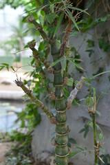 Tropical green bamboo