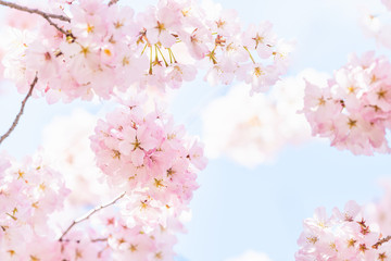 Looking up, low angle closeup view of one vibrant pink cherry, sakura blossom tree branch, flower petals in spring, springtime Washington DC, sunny, sunshine, sunlight, light, backlight
