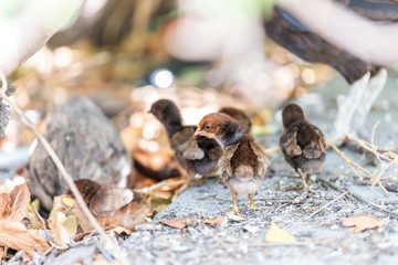 Many wild wild chickens, family, wildlife, small chicks standing, searching, running, digging, for food in soil, ground on sunny day in Key West, USA, Florida island on street in park