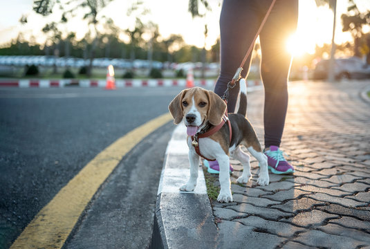 Baby dog walking  exercise with owners for health  concept,  in the evening on the park background, sunset, - image