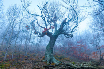 Old tree snag without leaves on a foggy autumn day in the mountains, mystical landscape
