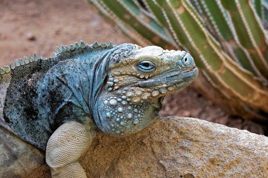 Grand Cayman Blue Iguana endangered species native to Cayman islands