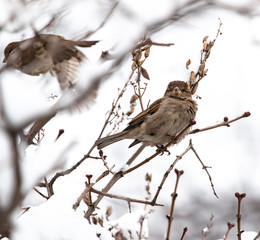 sparrow on a branch with snow