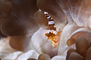Sexy Shrimp (Thor amboinensis). Picture was taken near Island Bangka in North Sulawesi, Indonesia