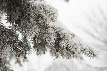 spruce tree snow winter green
