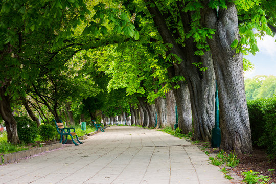 alley with chestnut trees in blossom. benches on the pavement
