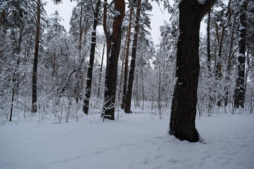 Beautiful fairy-tale winter forest. Pines.