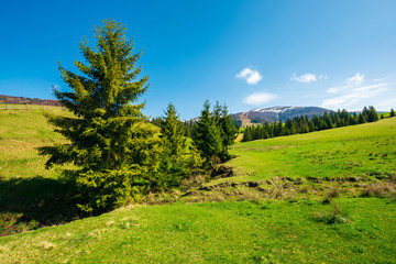 spruce trees on grassy meadow. mountain ridge with snowy tops in the distance. wonderful sunny springtime day.