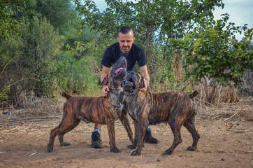Couple of brindle Boerboel dogs sing to their breeder