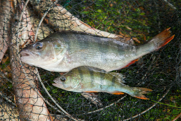 Trophy fishing. Two freshwater perch just taken from the water..