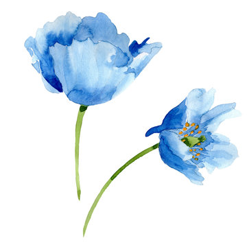 Blue Poppy. Floral botanical flower. Isolated poppy illustration element.