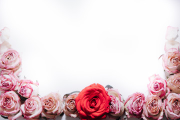Pink and red roses buds on white background. Flat lay, top view. Valentines background