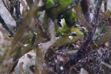 A baby green Super Klipfish (Clinus superciliosus) hiding between some sea grass.