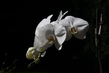 Orchid, Orchidee, Orchidaceae, weiß, schwarz