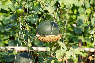 Green watermelon hanging on vine in the garden