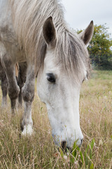 White work horse standing in a field grazing and facing the camera closeup of his head.