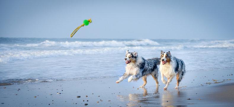 Eine Gruppe von zwei Australian Shepherds springen voller Lebensfreude durch das blaue Wasser auf ein Spielzeug zu.