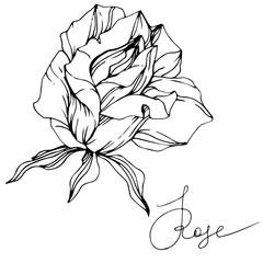 Vector Rose flower. Isolated rose illustration element. Black and white engraved ink art.