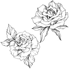 Vector Rose flower. Isolated rose illustration element. Black and white engraved ink art.