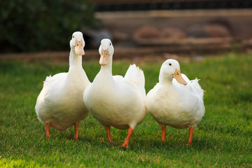 Three white ducks on green grass Wall mural