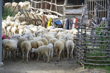 sheeps or lambs live in the farm at dry land, people active in cattle