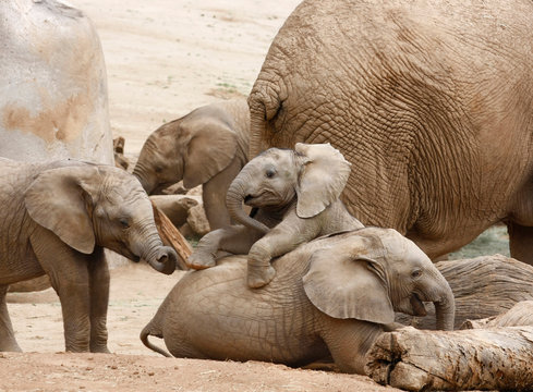 Baby Elephants Playing With the Herd in the Background