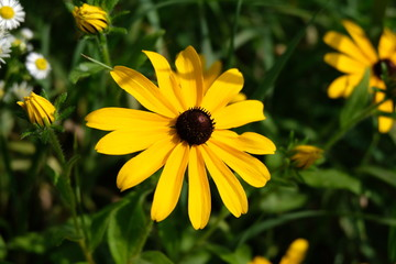 A Close Up Shot Of A Black Eyed Susan (Rudbeckia Hirta) Flower. A Few Other Flowers Are About To Bloom Around It.