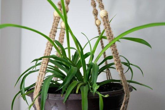 A spider plant (Chlorophytum Comosum) hanging in a jute twine macrame plant hanger.