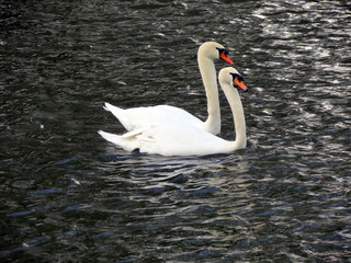 Europe, Belgium, West Flanders, Bruges,a pair of  loving swans floating on the channel