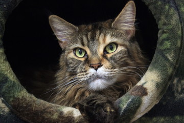 pet lies in the cat house. a serious look from your home, on your territory. Cat - Maine-Coon.