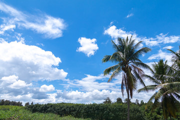 Coconut palm tree against blue sky and white clouds
