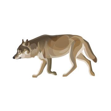 Gray wolf trotting
