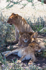 3 lions looking in each direction, one sitting one laying left and one laying right