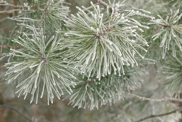 Pine branches with the needles covered with hoarfrost on frosty day. Winter background, Falling snow.