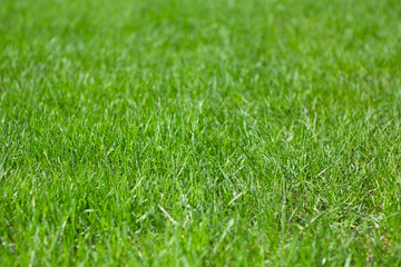 Green Grass Background Texture. Green Field Background.