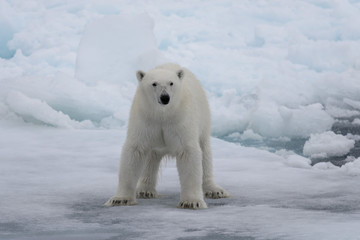 Wild polar bear on pack ice in Arctic sea
