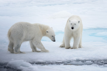 Two young wild polar bears playing on pack ice in Arctic sea