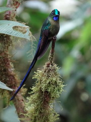 Green Blue Hummingbird-Violet Tailed Sylph-Langschwanzsylphe-Aglaiocercus coelestis in Mindo Cloud Forest, Ecuador