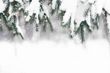 Christmas winter background. Fir tree branch covered with snow in winter day. The branches of the snow covered green Christmas tree in the forest, park.