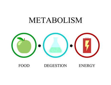 Simple illustration of metabolism notion. Transformation from food to energy. Metabolism vector