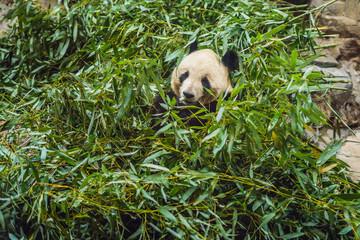 Giant panda Ailuropoda melanoleuca eating bamboo. Wildlife animal