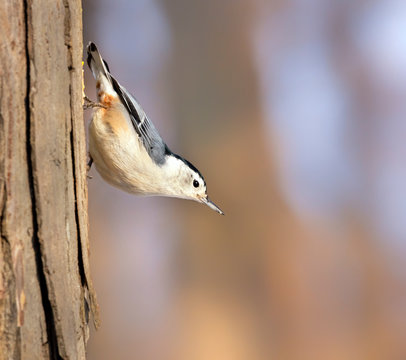 White-breasted Nuthatch, Sitta Carolinensis at Ledges state park, Iowa, USA, Ames