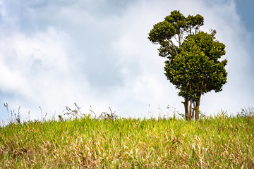 Unusual growth formation on a lone tree on top a hill in the countryside