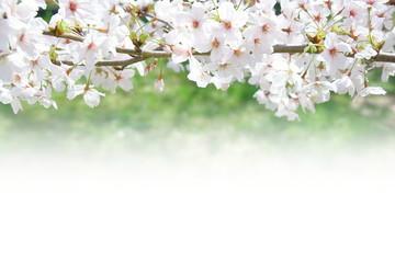 Wall Mural - 桜と新緑(ホワイトスペースのある背景)