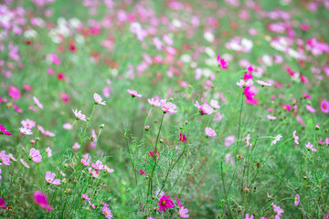Close-up background of a flower (field of flowers Cosmos), nature wallpaper with breeze blowing, and partially blurred grass, surrounded by green nature